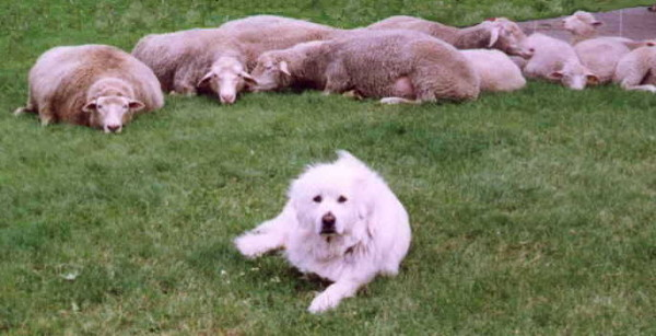 "REAL Sheepdog says, ""So you think you're a Sheepdog, do ye? Don't flatter yerself!"" (Source: http://www.milkandhoneyfarm.com/dogs/dogs.html)"