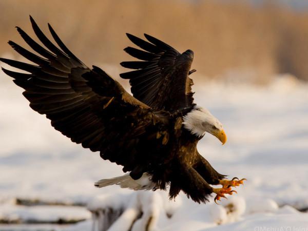 Eagle_Attack